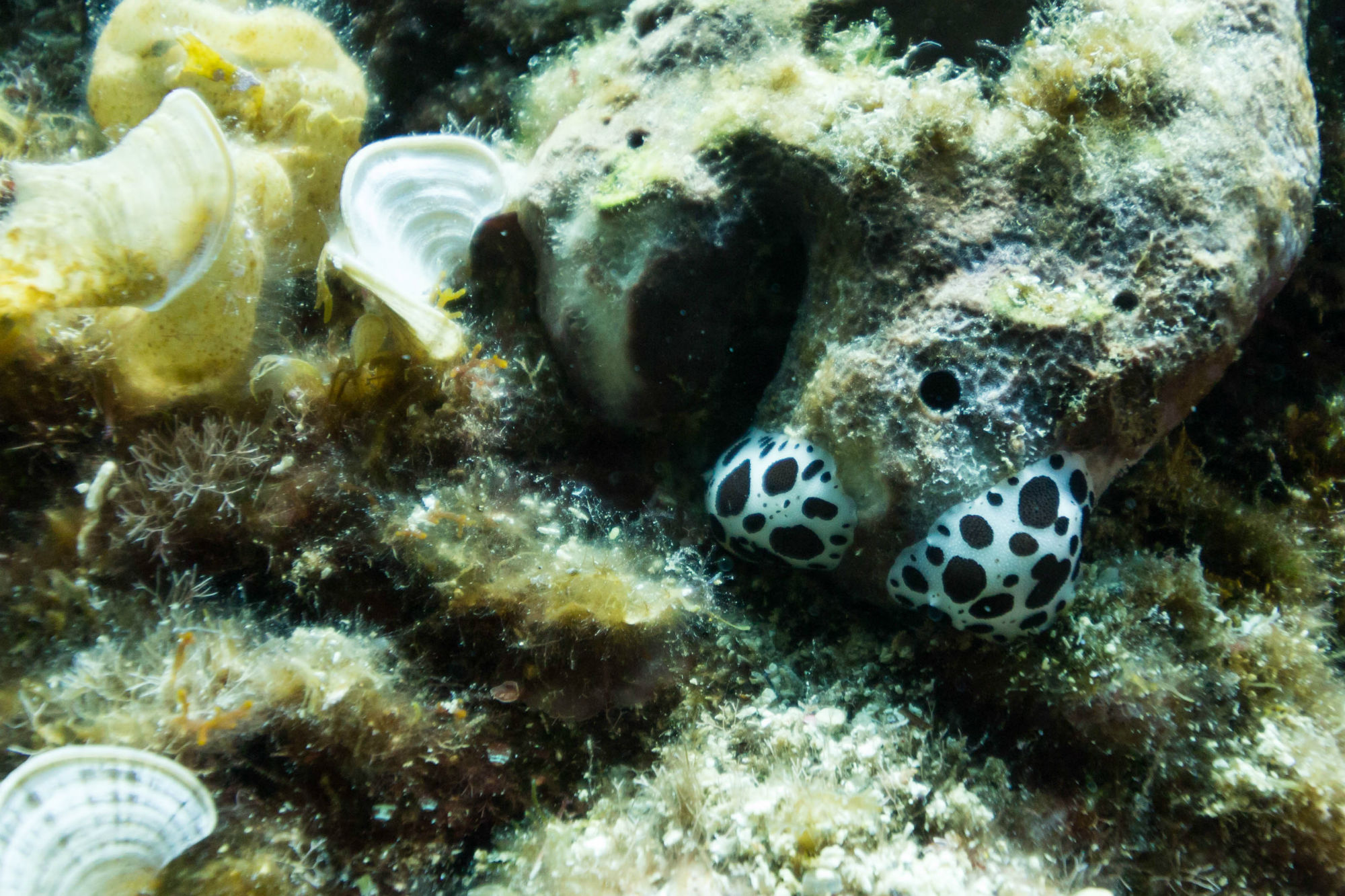 White and Black Spotted Nudibranchs on Our Croatia Dive in Dubrovnik
