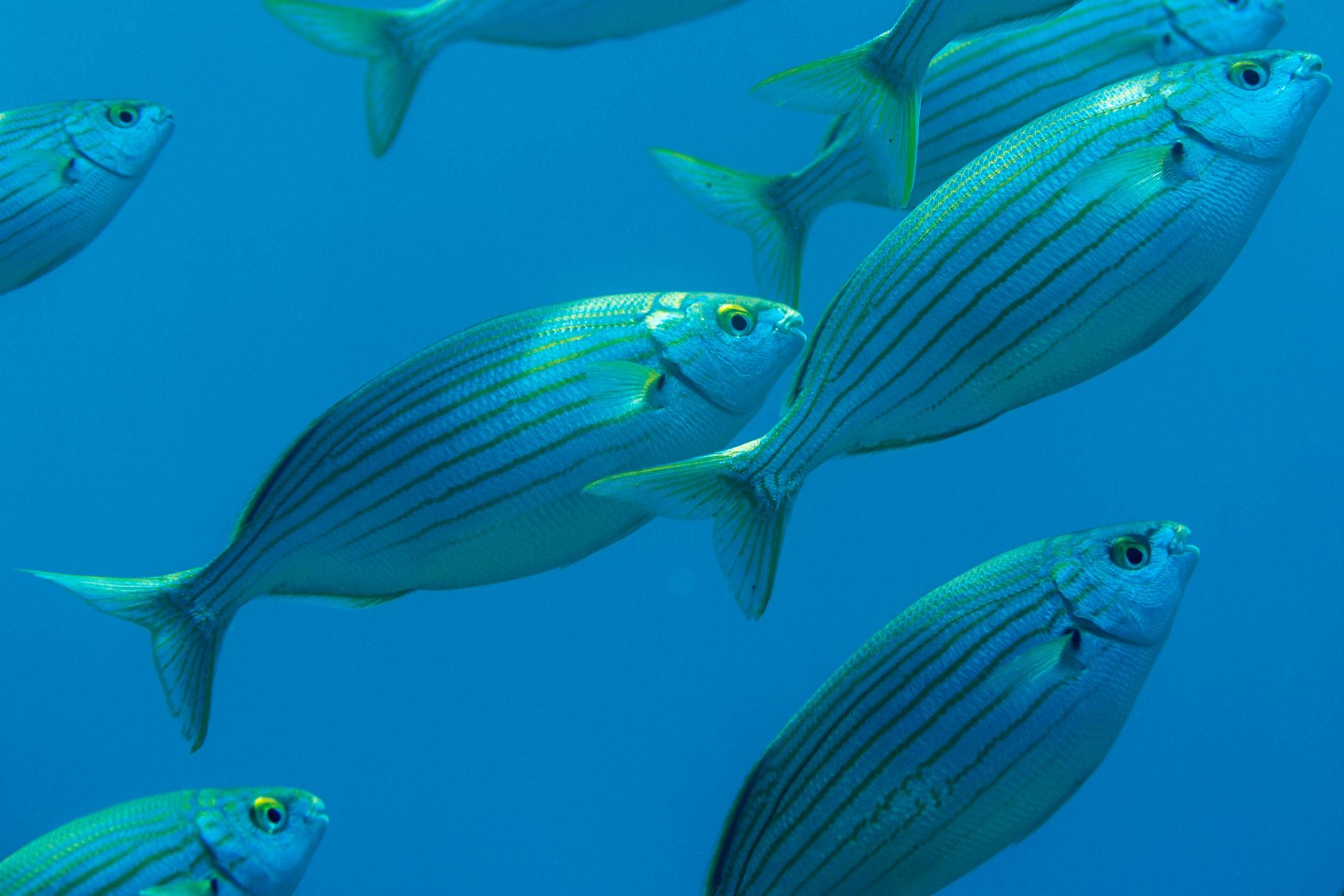 Large Pelagic Fish Schooling in Dubrovnik, Croatia