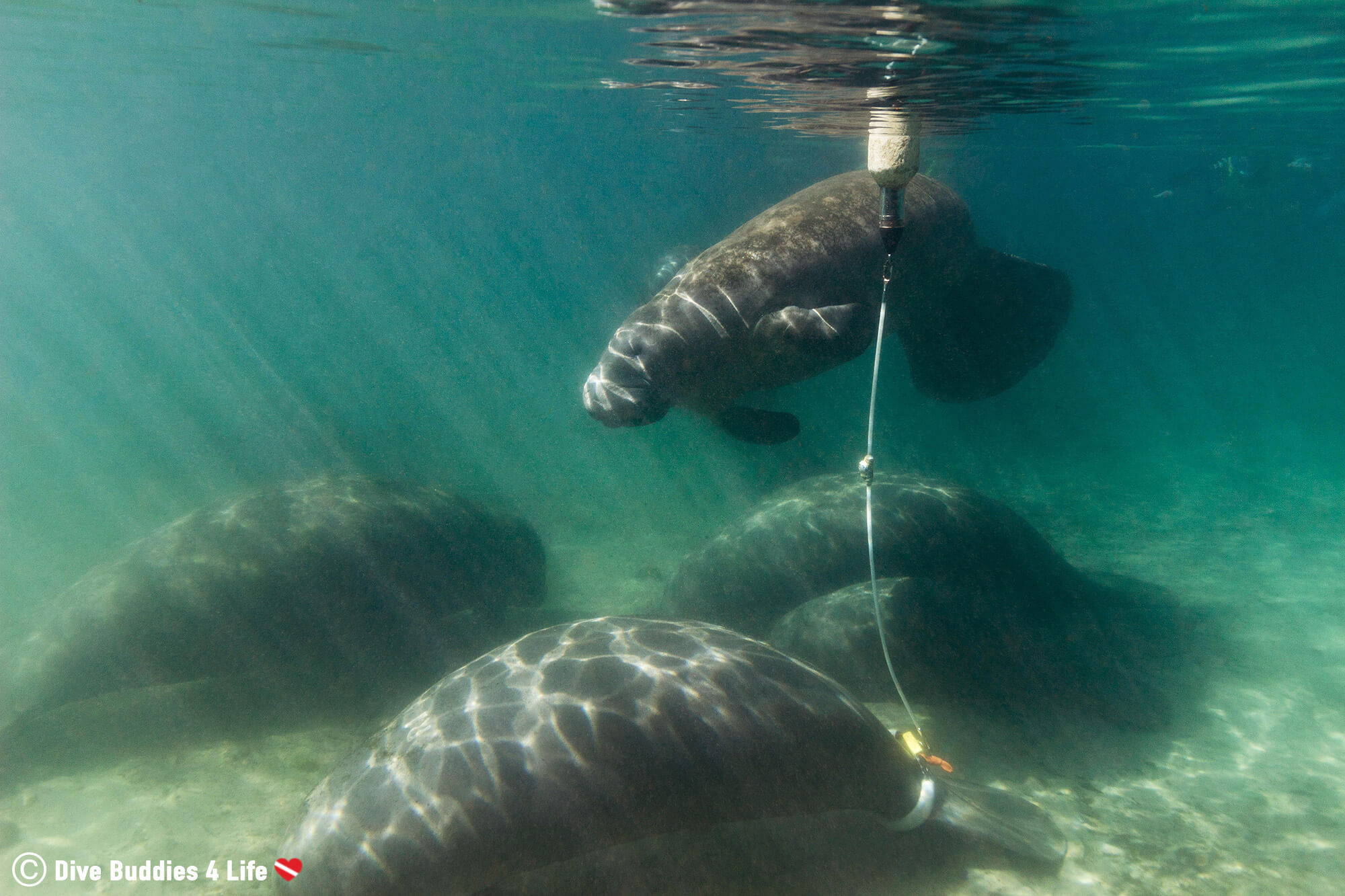 A Baby Manatee Surfacing For Air In Three Sisters Spring, Crystal River, Florida, USA