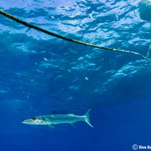 A Barracuda And The Dive Anchoring Line On The Reef In Key Largo, The Florida Keys, USA