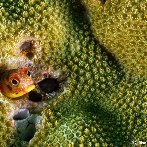 A Blenny In The Green Coral Of Zihuatanejo, Mexico