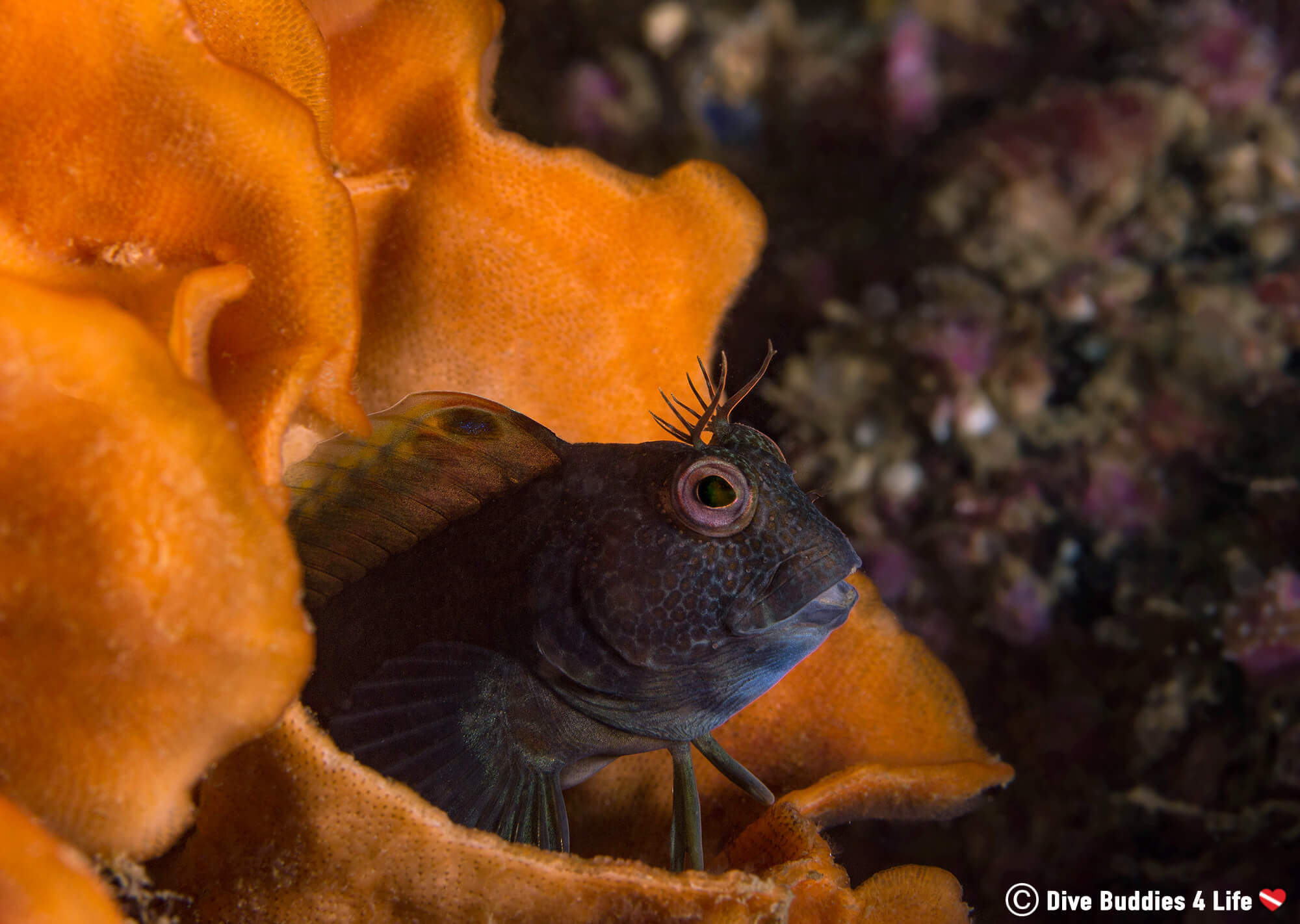 A Blenny Poking Out Of A Sea Sponge In Carnac, Brittany