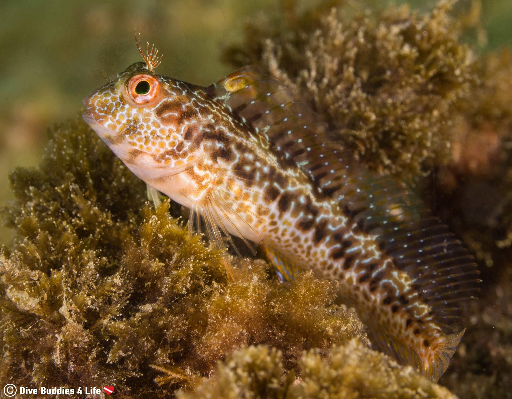 A Blenny In The Plant Life Along The Côte D'Azure In France, Europe Scuba Diving