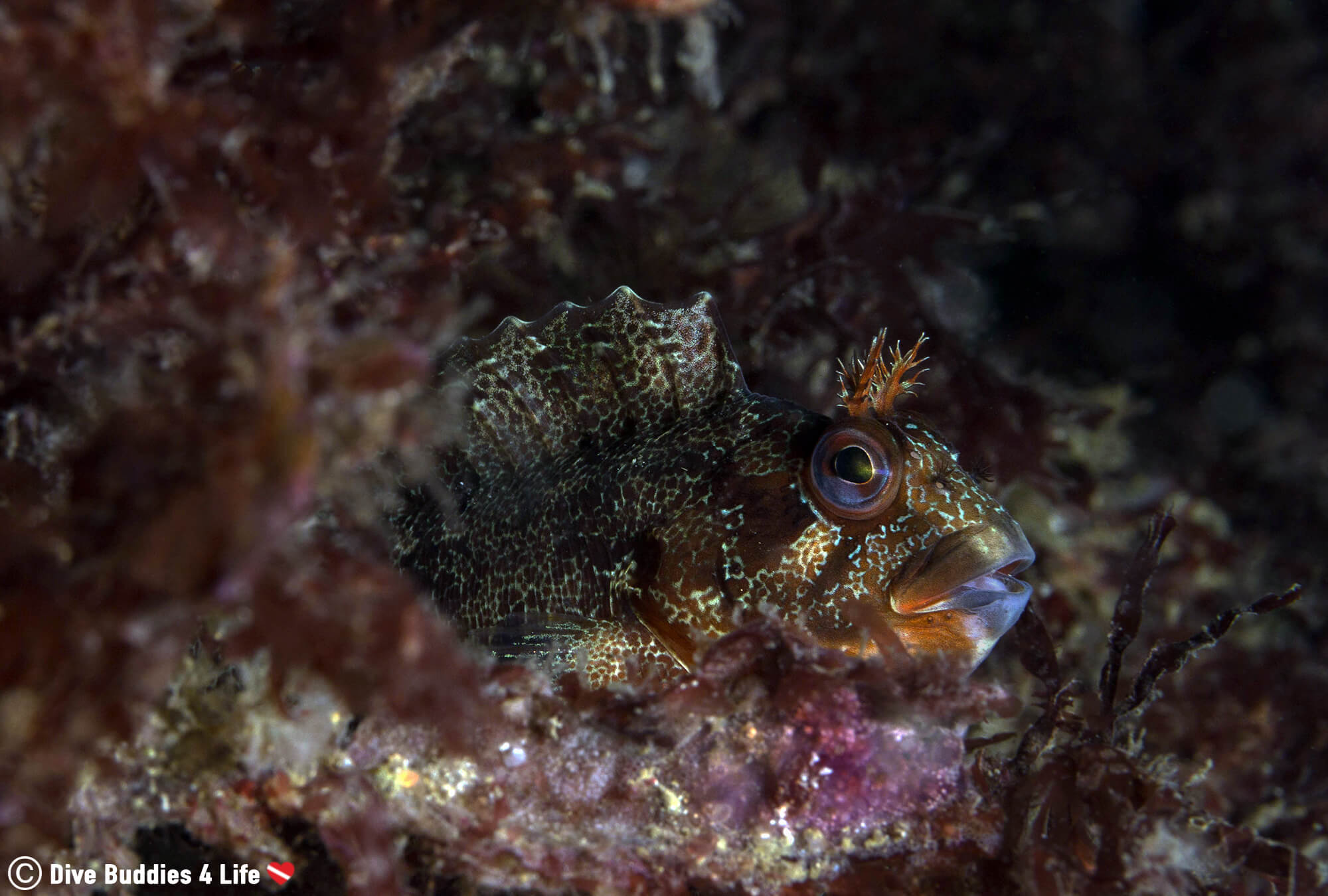 A Blenny In The Red Marine Plant Life Of Brest, Brittany, France