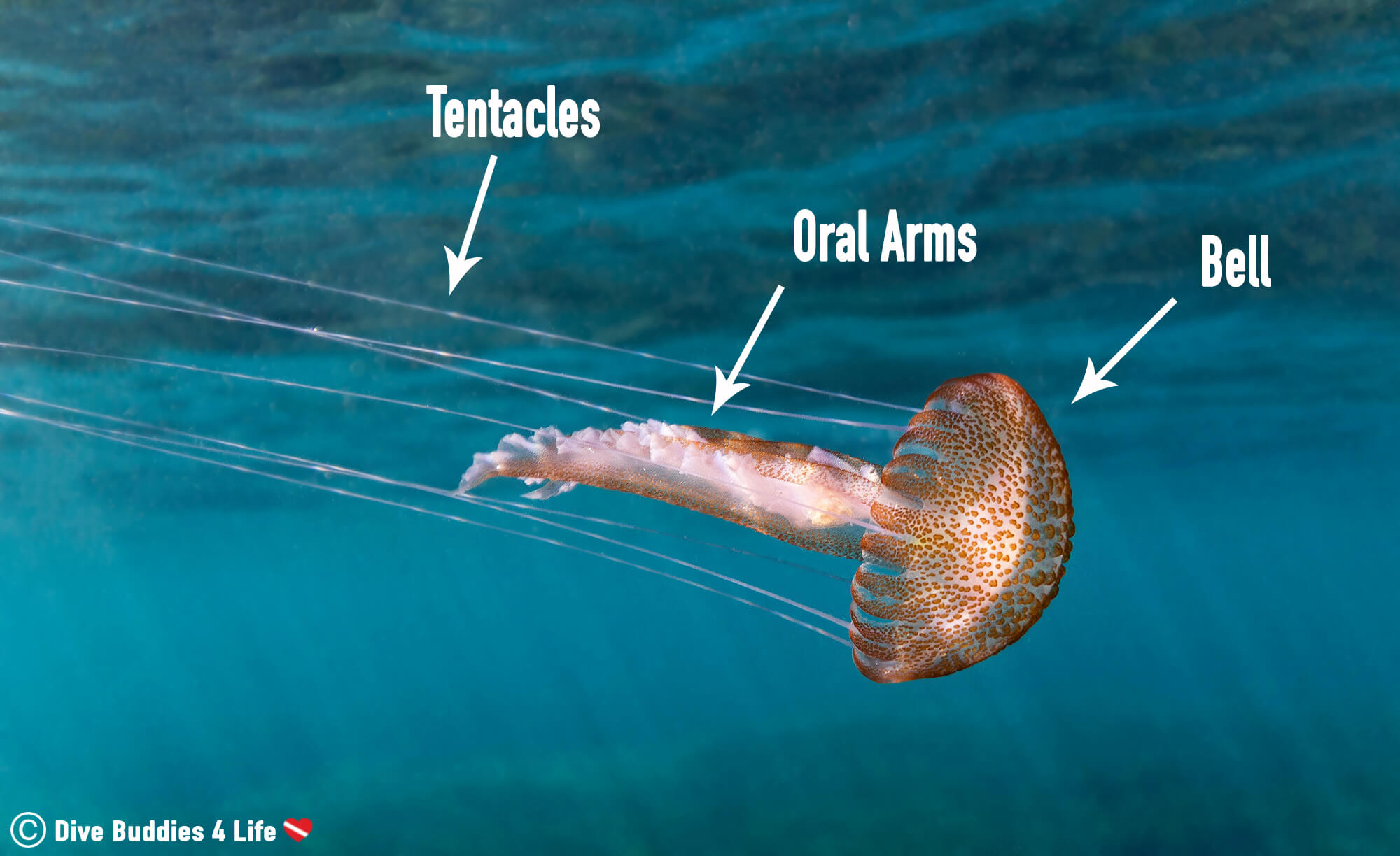 A Break Down Of The Jellyfish Body Into Bell, Oral Arms And Tentacles