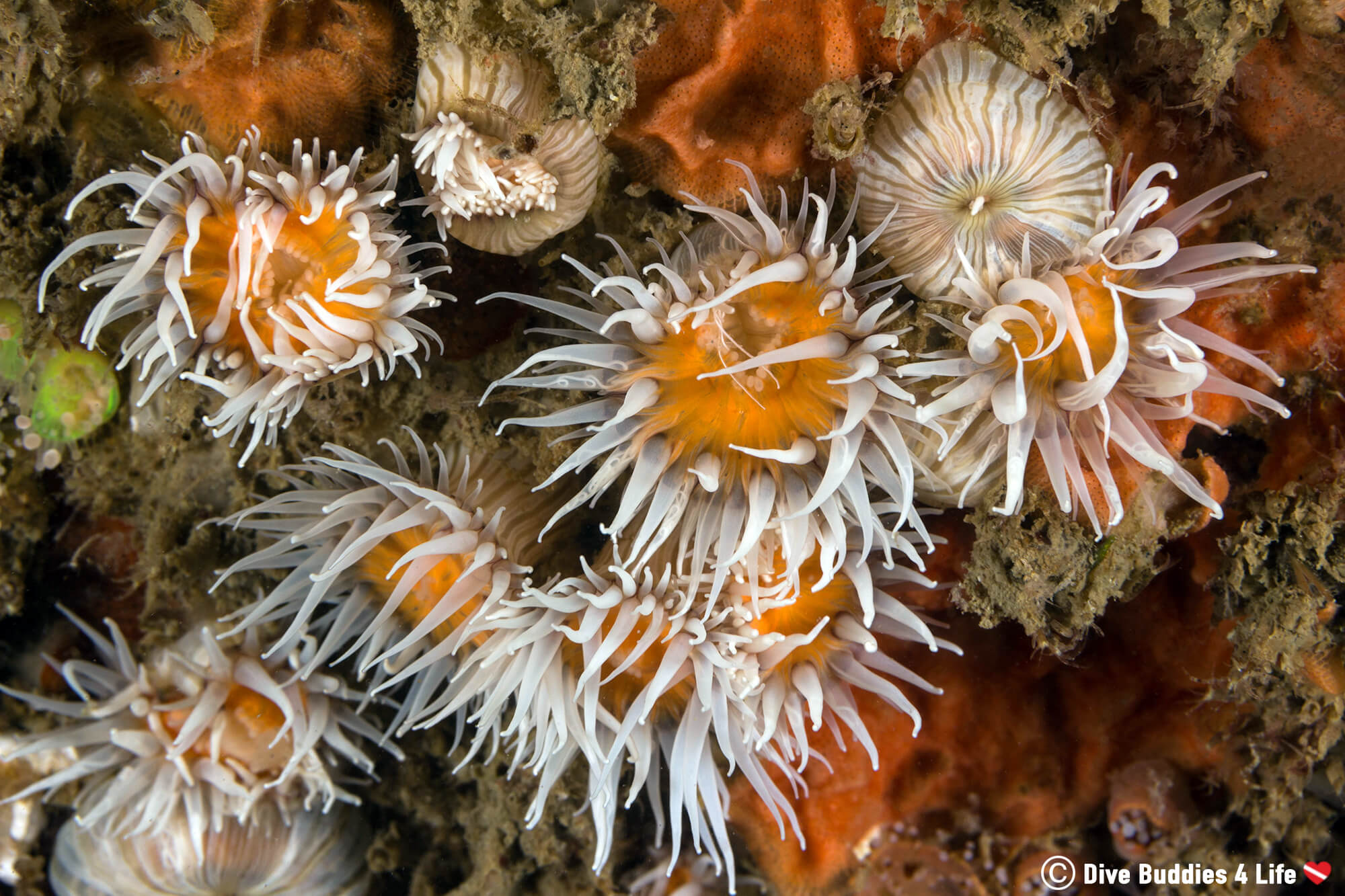A Bunch Of White And Orange Anemones On A Underwater Rock Wall In Carnac, France