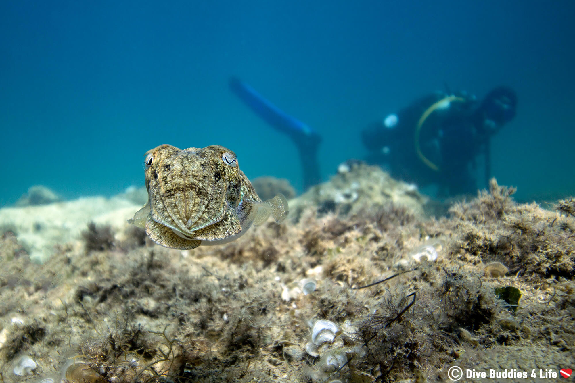 A Camouflaged Cuttlefish And A Scuba Diver In Slovenia, Europe