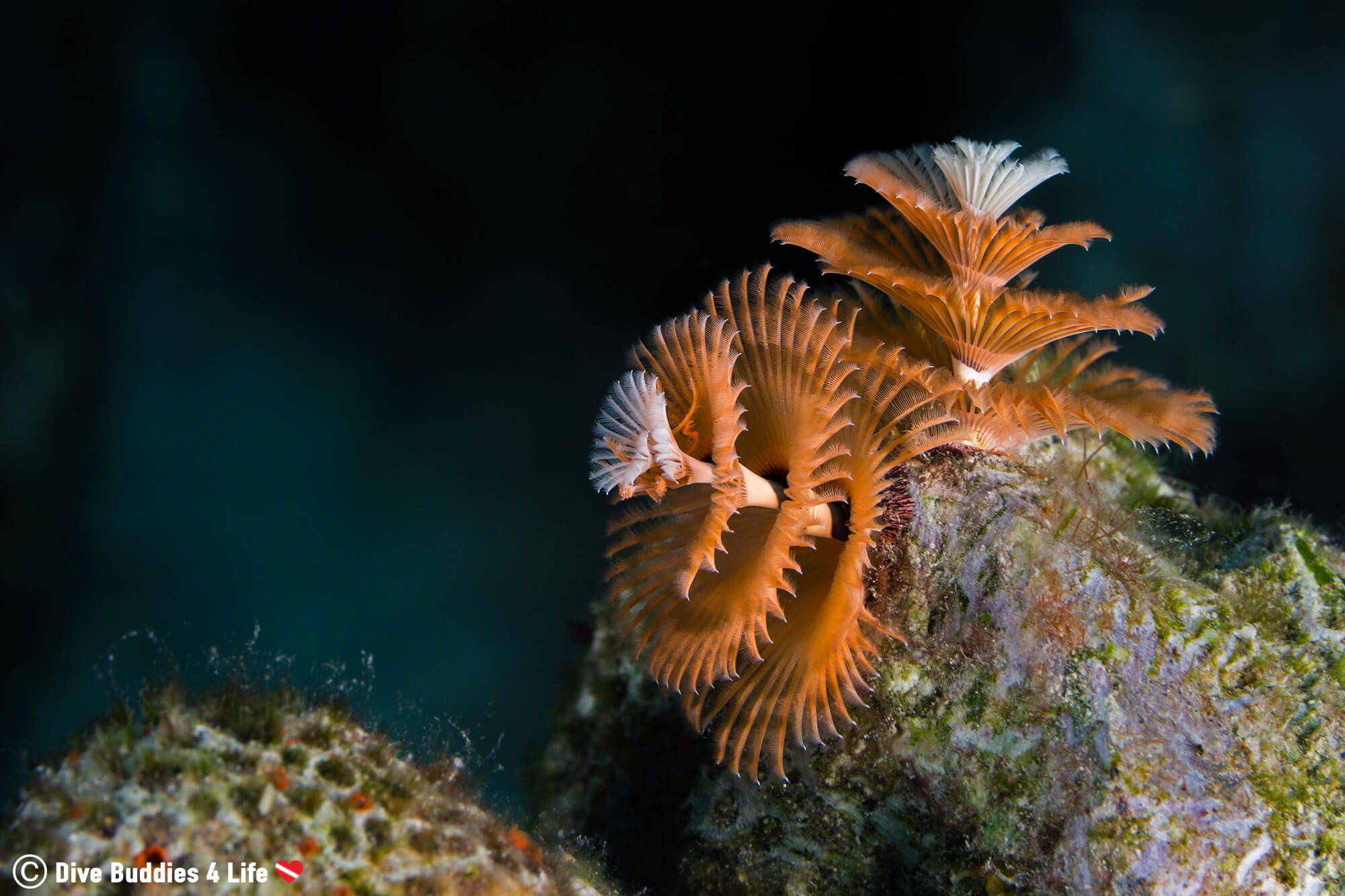 A Couple Of Christmas Tree Worms Burrowed In The Coral Of Bonaire Photographed On The Side Profile, Dutch Caribbean