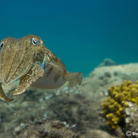 A Cuttlefish On A Reef In Slovenia With The Blue Water Behind it, Europe's Balkan Countries