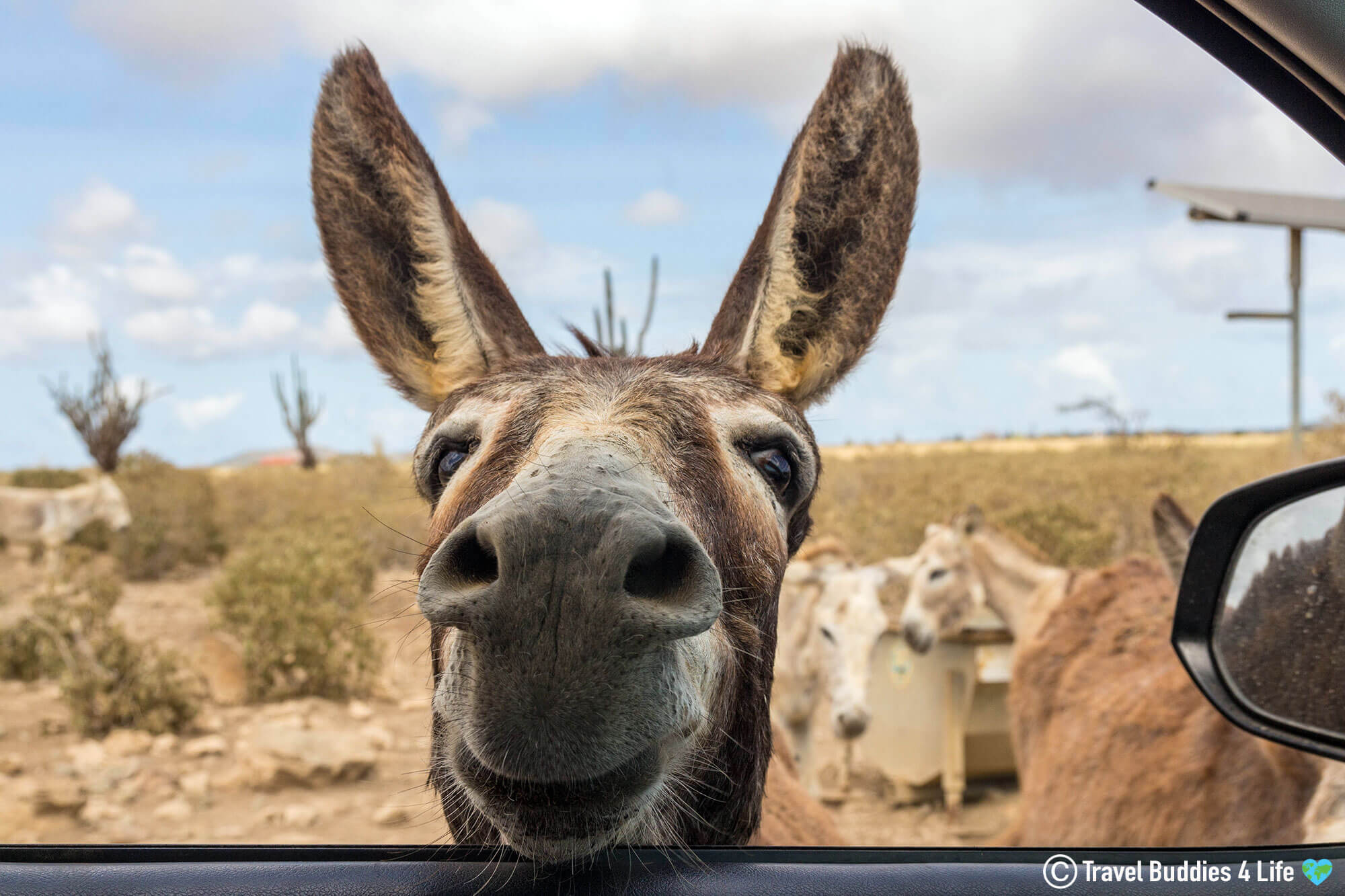 A Donkey Peeking Through The Car Window At The Bonaire Donkey Sanctuary, Dutch Caribbean
