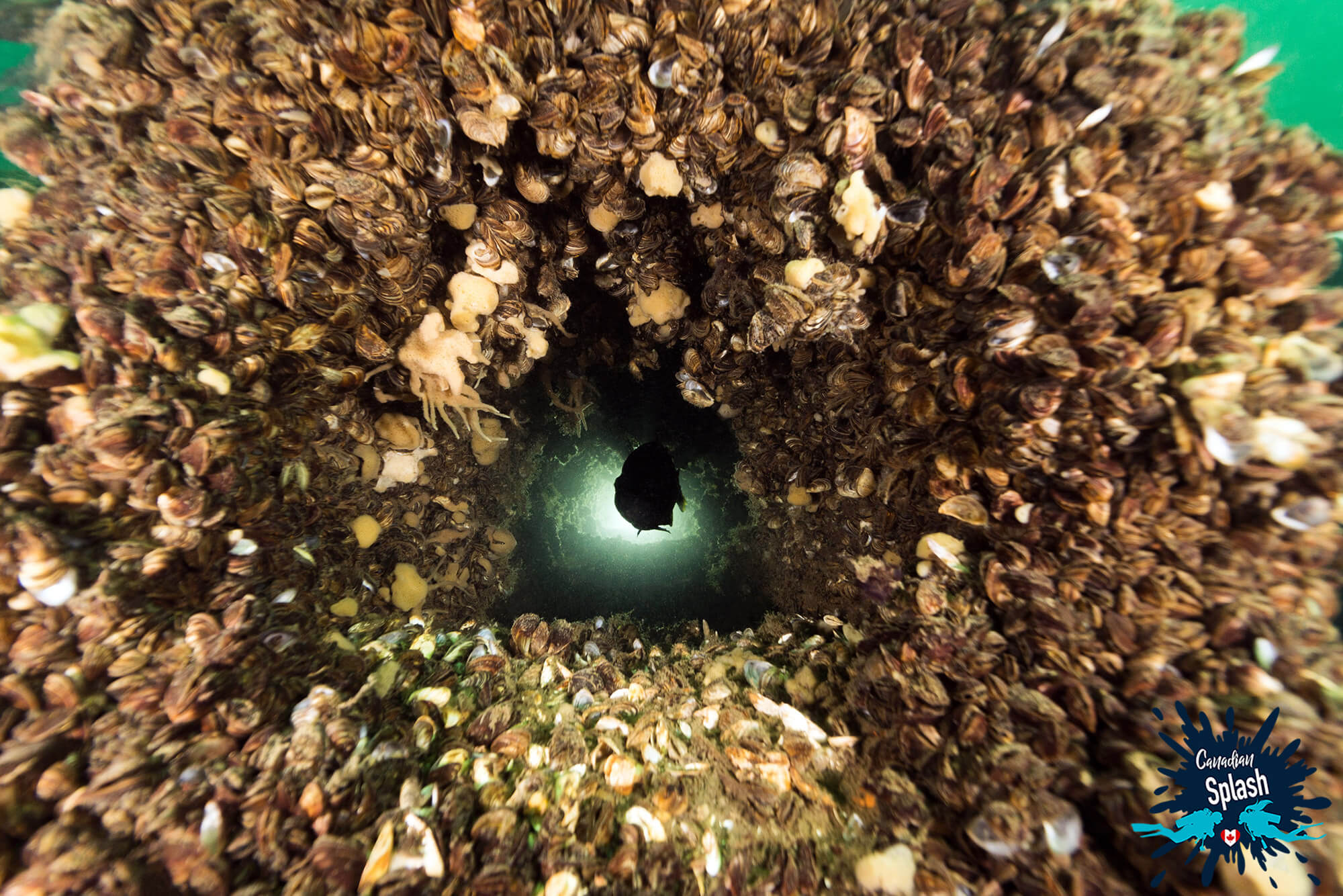 A Fish Backlight Underwater Through A Zebra Mussel Clogged Port In The Rothesay Shipwreck, Brockville, Ontario