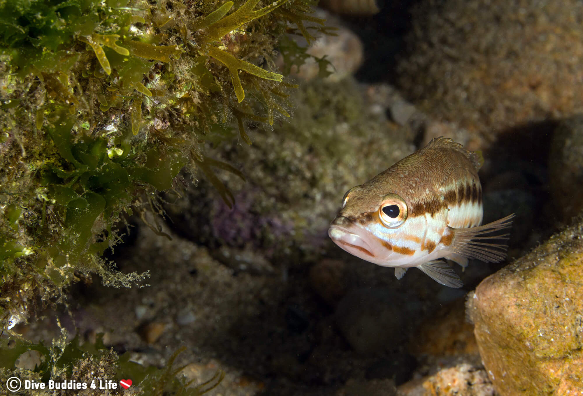 A Fish Swimming In A Rocks Crevasse On The Famous Costa Brava In Spain, Europe