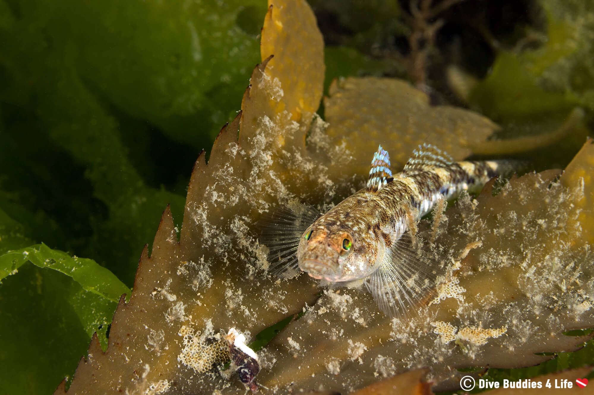 A Golby Fish On A Bed Of Kelp At The Carnac Shore Diving Site In Brittany, France