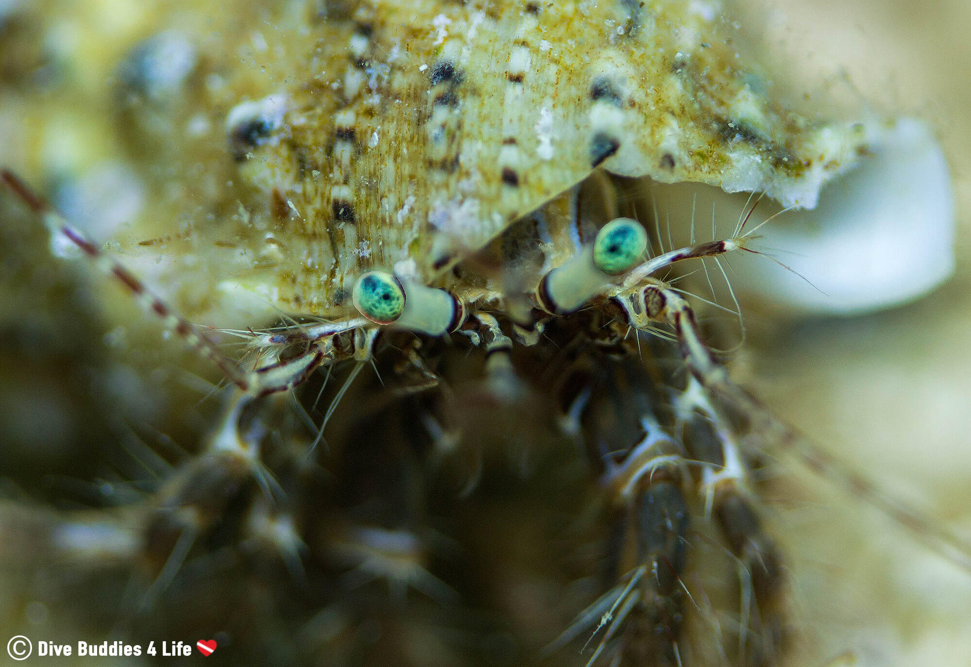 A Green Eyed Crab Checking Out My Macro Photography In Croatia