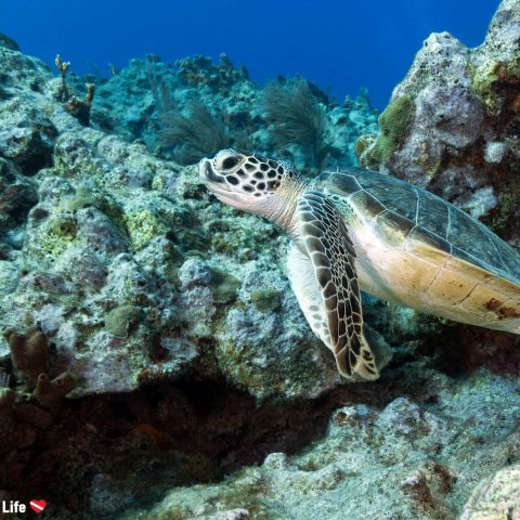 A Green Sea turtle On The Reef Of Key Largo In The Florida Keys, USA