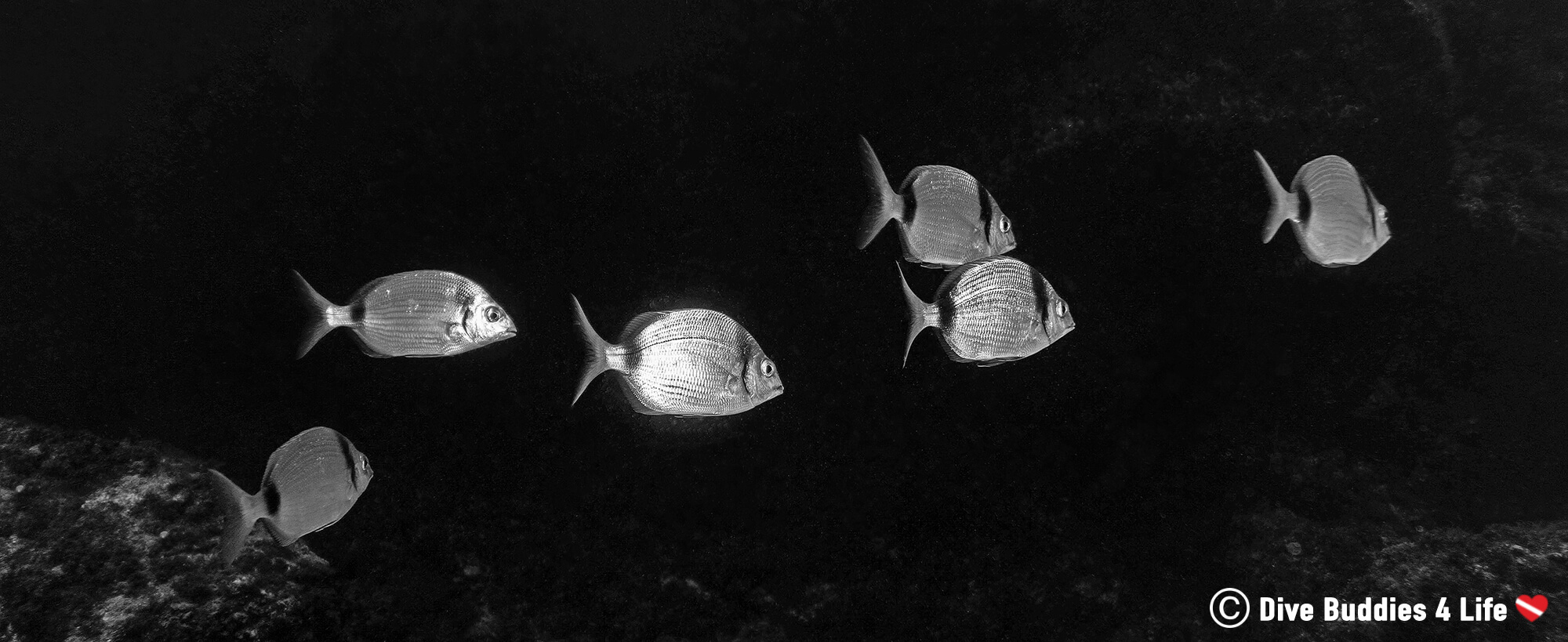 A Group Of Shiny Silver Fish Swimming Underwater On A Night Dive In Lanzarote, Spain