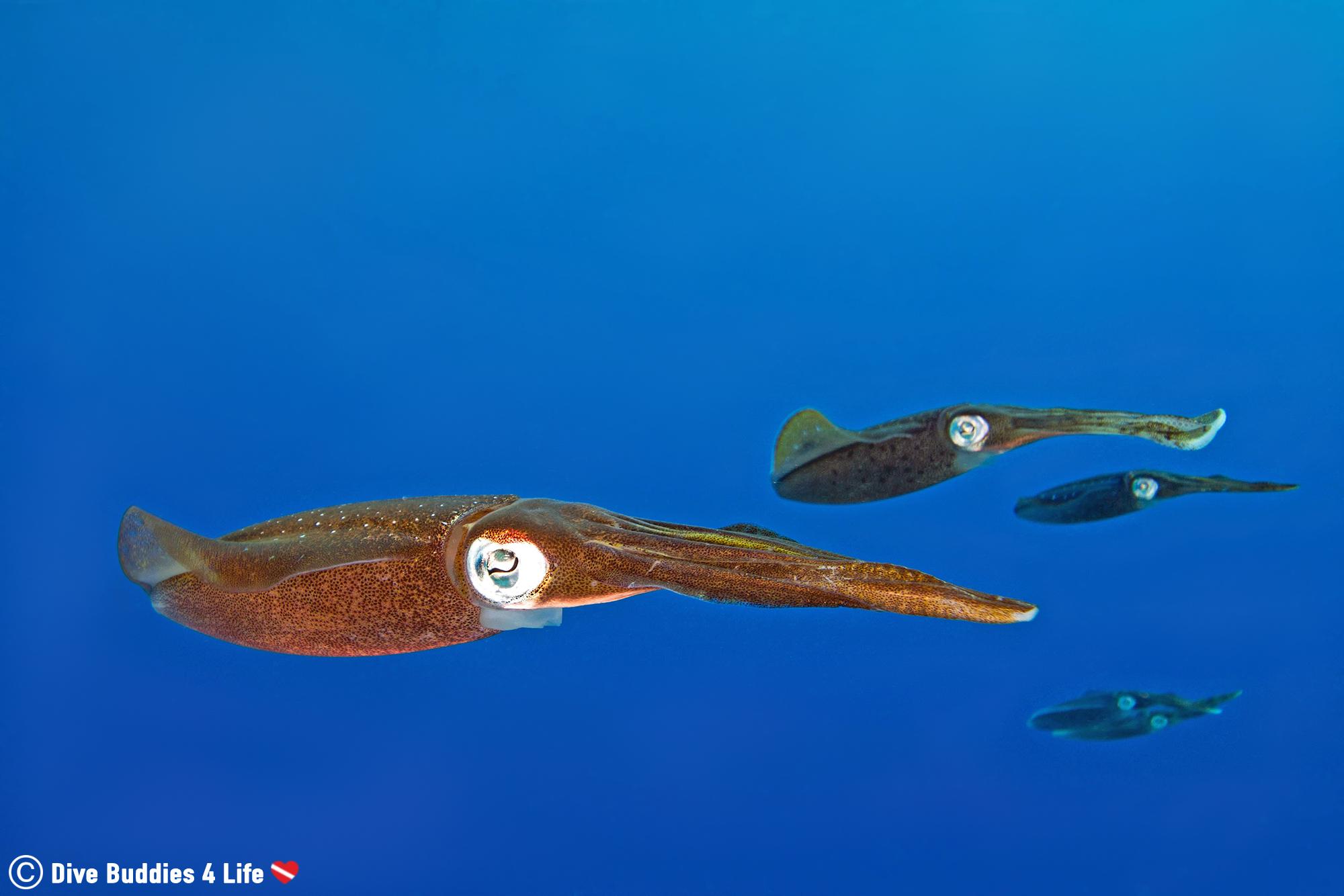 A Group Of Squid In The Blue Caribbean Water Of Bonaire, Salt Pier Dive Site, Scuba Diving The Dutch Caribbean
