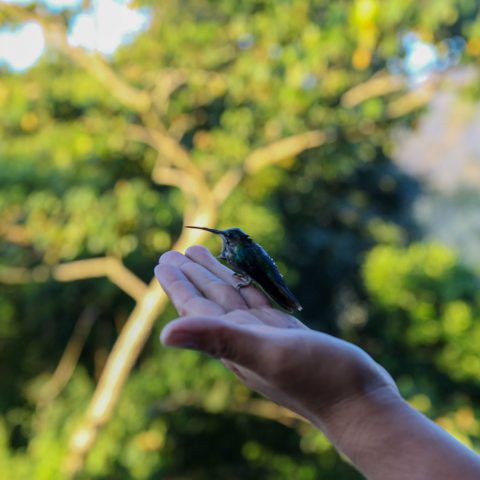 A Hummingbird Being Released into the Rainforest
