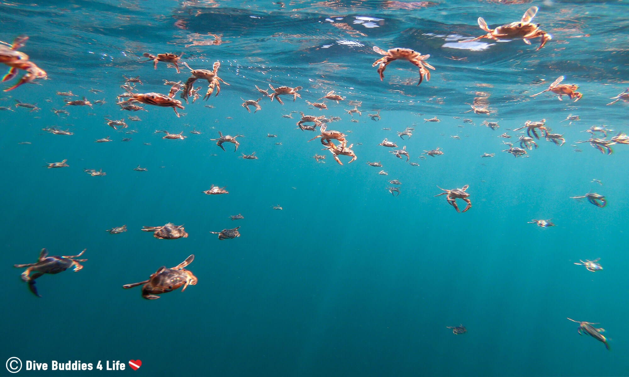 A Large Aggregation Of Pelagic Swimming Crabs In Peniche, Portugal