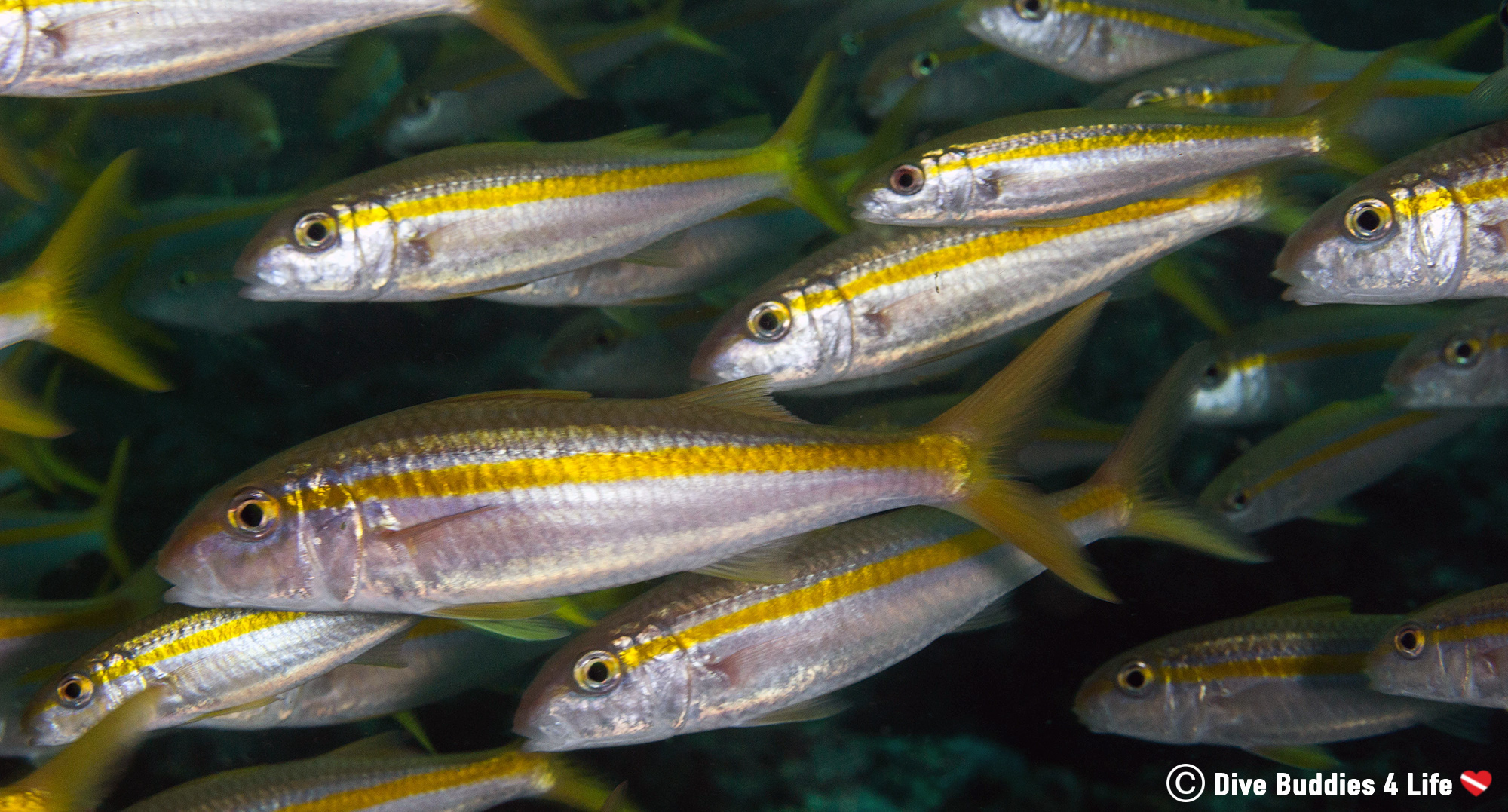 A Large School Of Mullet Fish In Zihuatanejo, Mexico