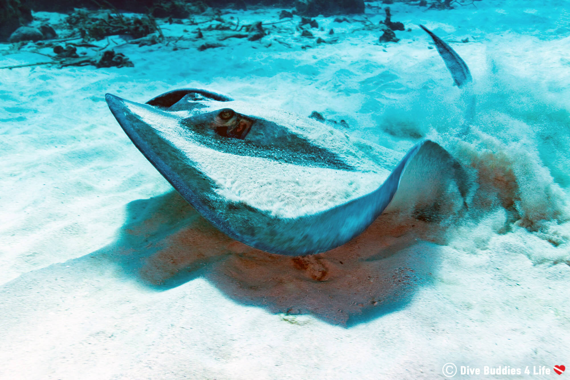 A Large Southern Stingray In The Sand Of The White Hole East Coast Diving Site, Bonaire, Dutch Caribbean