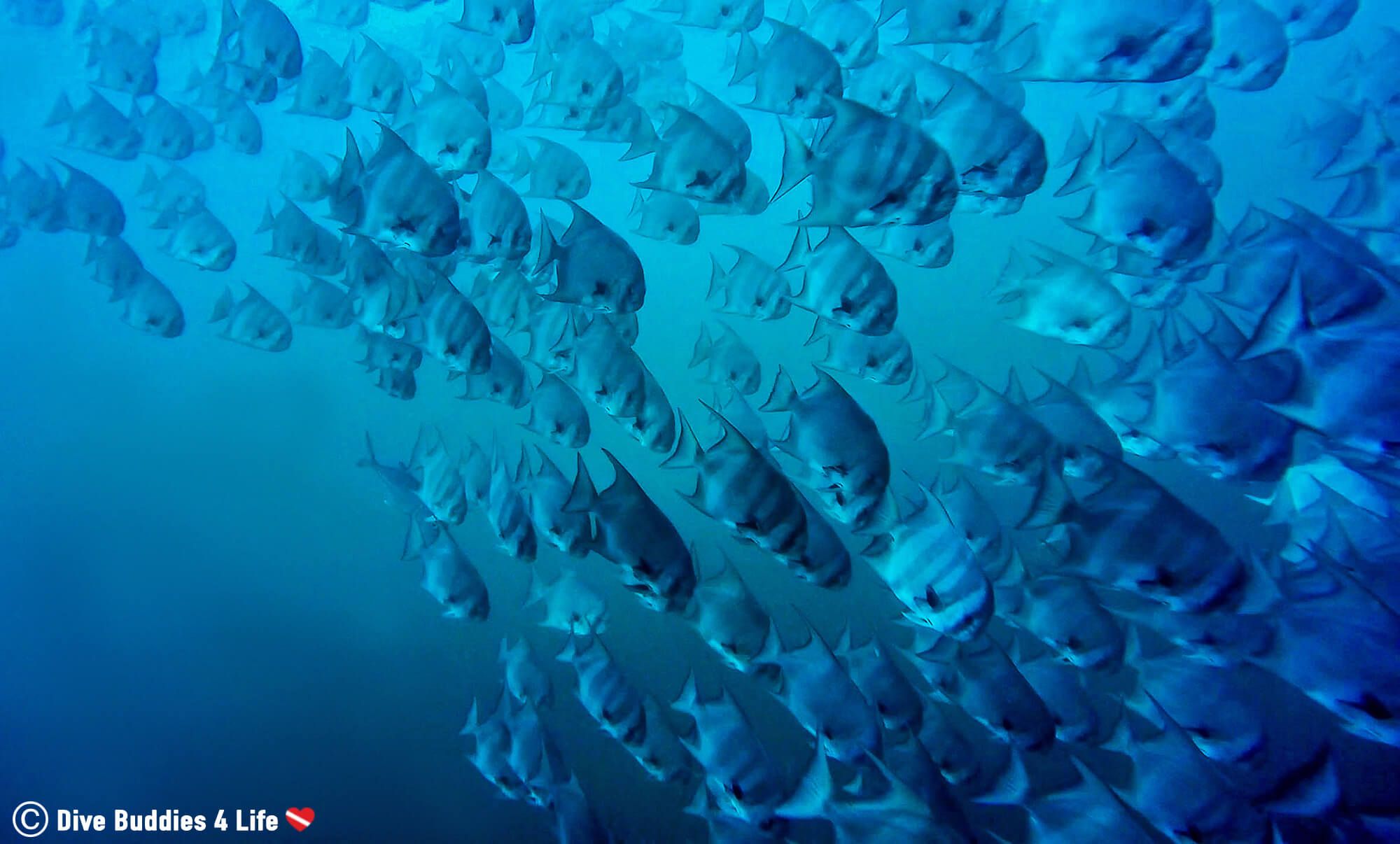 A Large Swimming School Of Spadefish In The Pacific Ocean Of Bat Island, Costa Rica