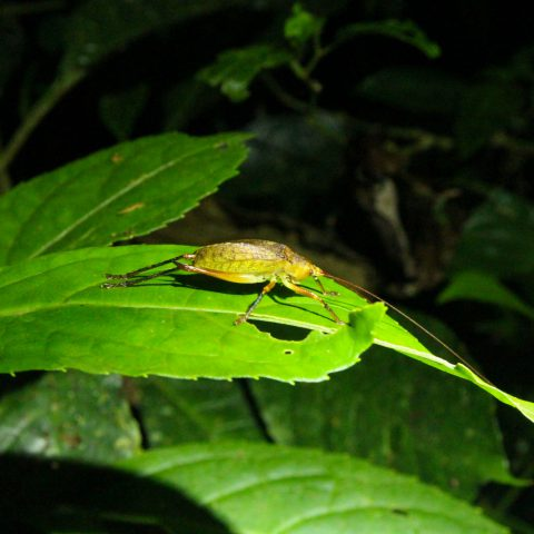 A Leaf Bug in the Rainforest with its Leaf Retracted