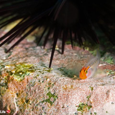 Macro of a Redheaded Golby On A Rock Ledge With A Black Sea Urchin In The Background, Zihuatanejo, Mexico