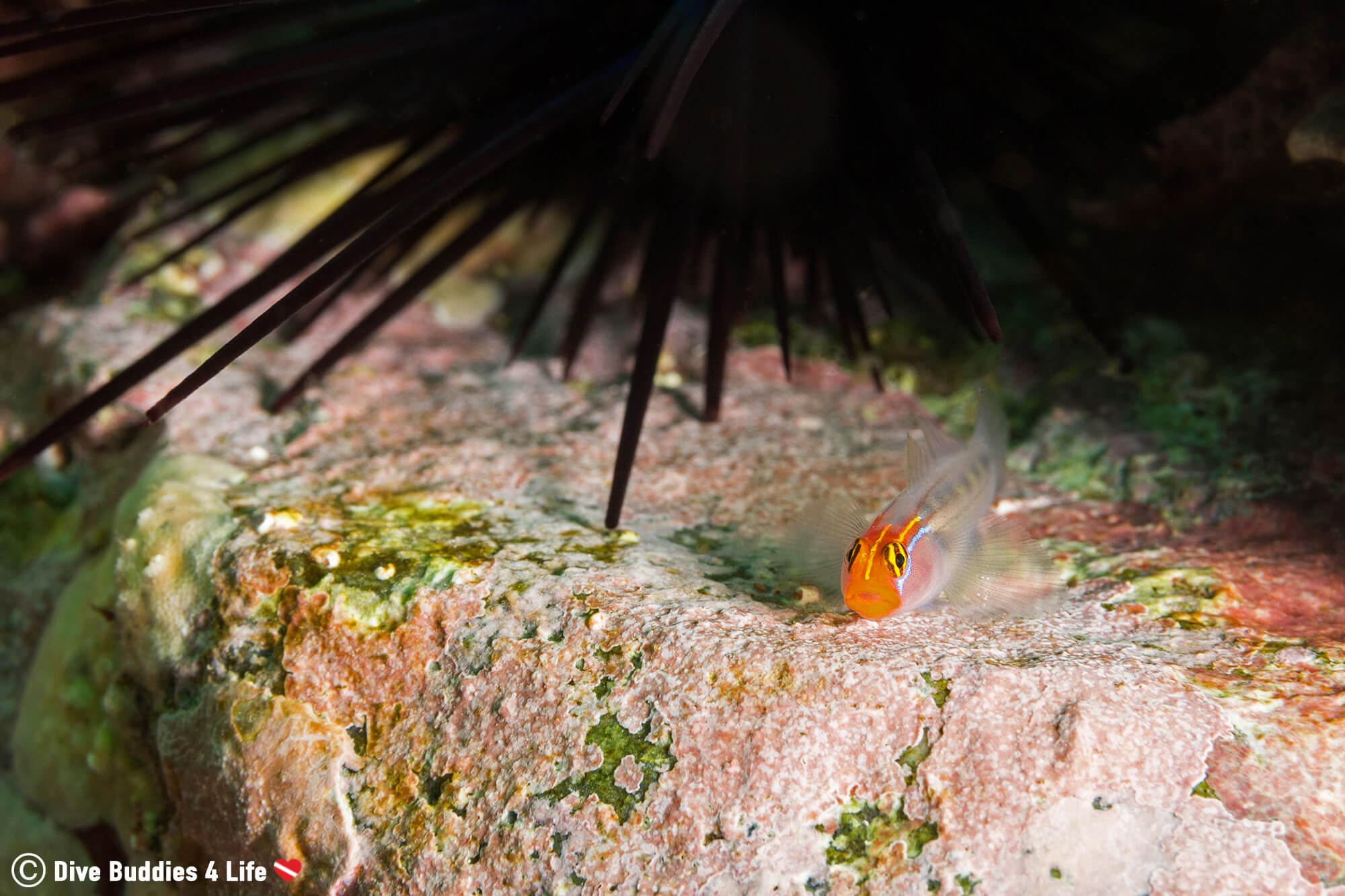 A Macro Fish On A Rock Ledge With A Black Sea Urchin In The Background, Zihuatanejo, Mexico