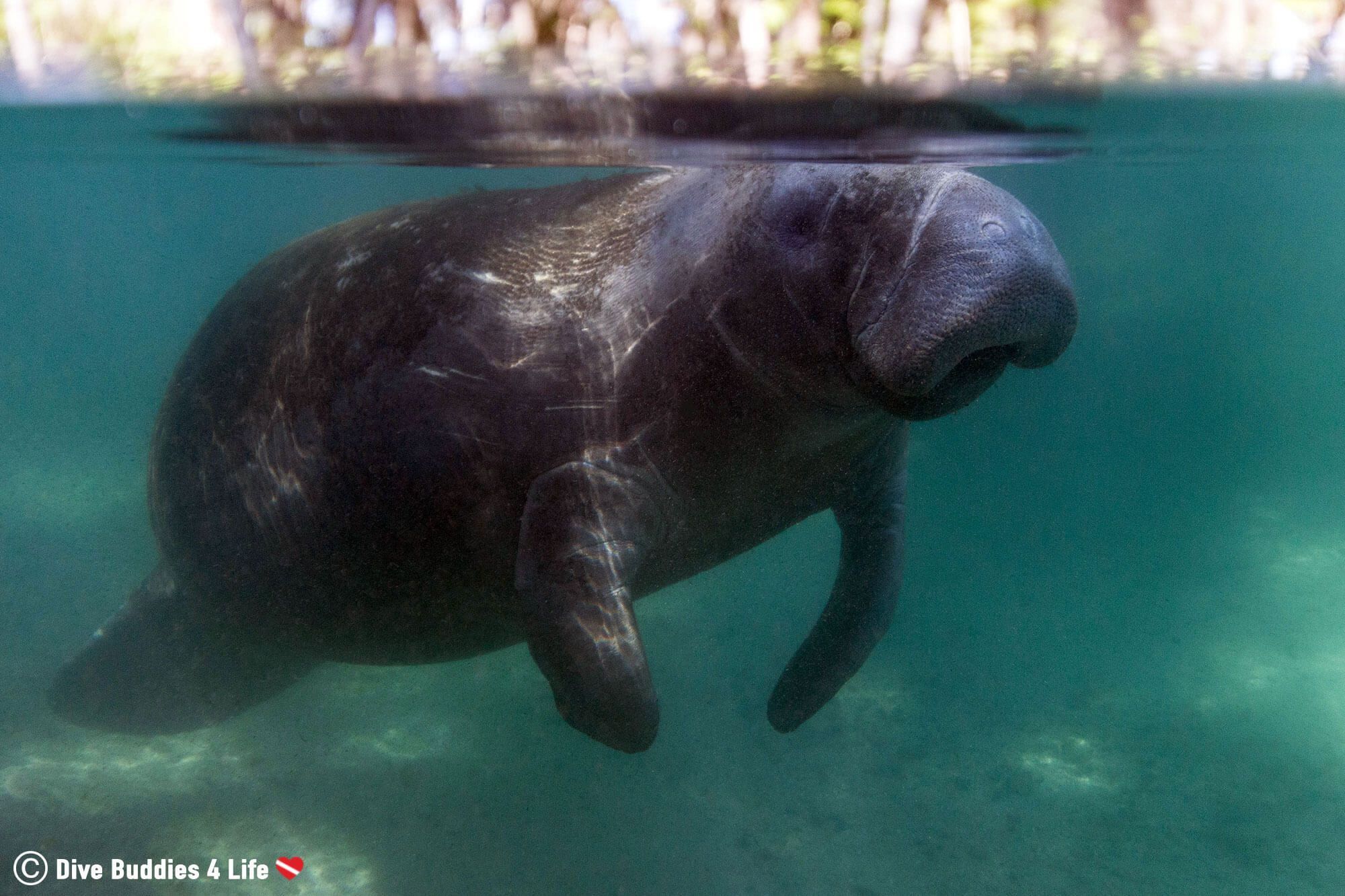 A Manatee Floating At The Surface Of The Water In Three Sisters Spring System, Crystal River, Florida, USA