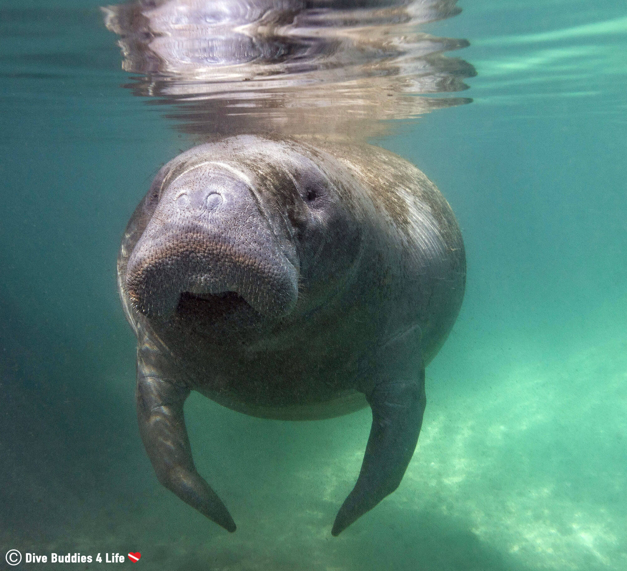 A Manatee Getting Ready To Swim Underwater In Three Sisters Springs, Crystal River, Florida, USA