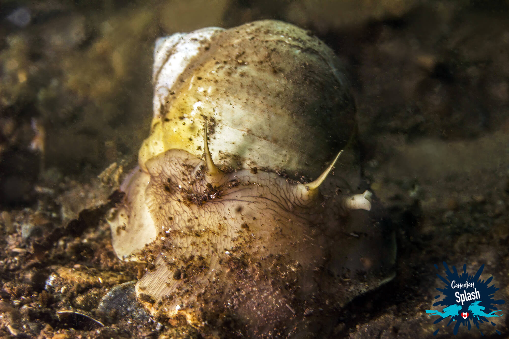 A Moon Snail On The Muddy Bottom Of Saint Andrews, New Brunswick, Canadian Splash Scuba Diving