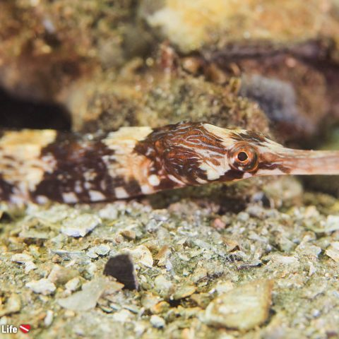 A Mottled Pipefish On The Bottom Of Grevelingenmeer Lake In The Netherlands
