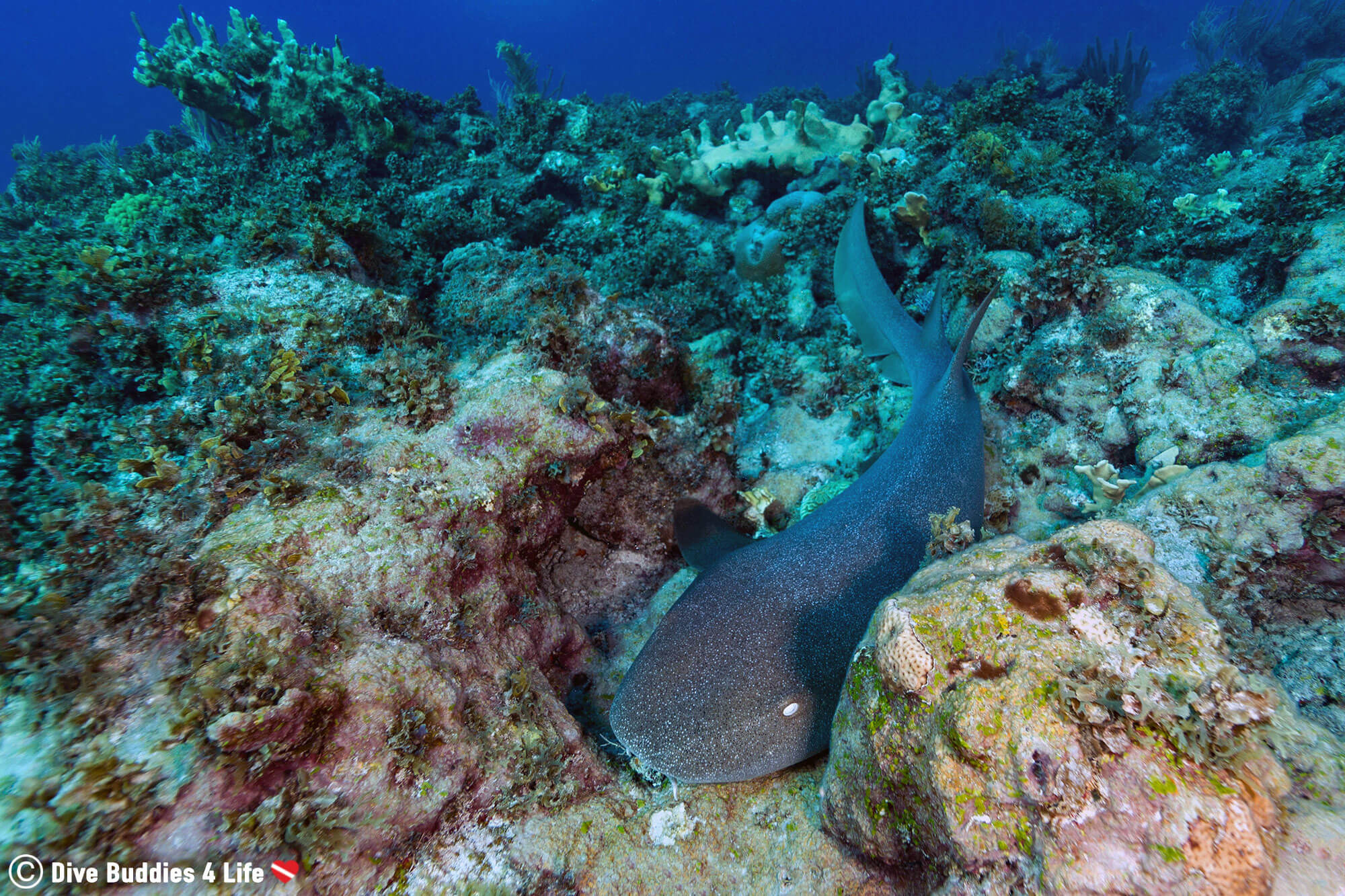 A Nurse Shark Wedged In The Coral At Baby Beach Dive Site In Bonaire, Dutch Caribbean