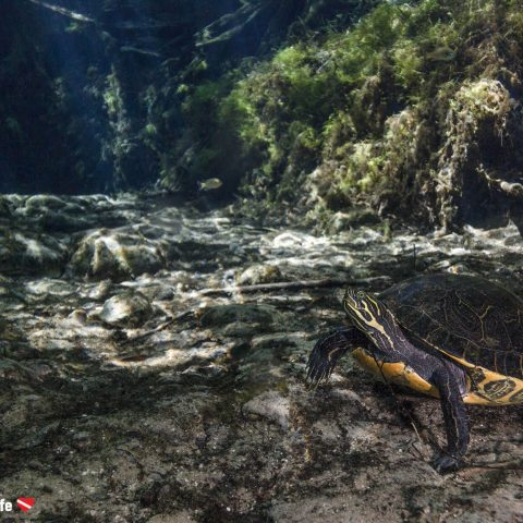 A Painted Turtle On The Bottom Of Ginnie Springs, Florida