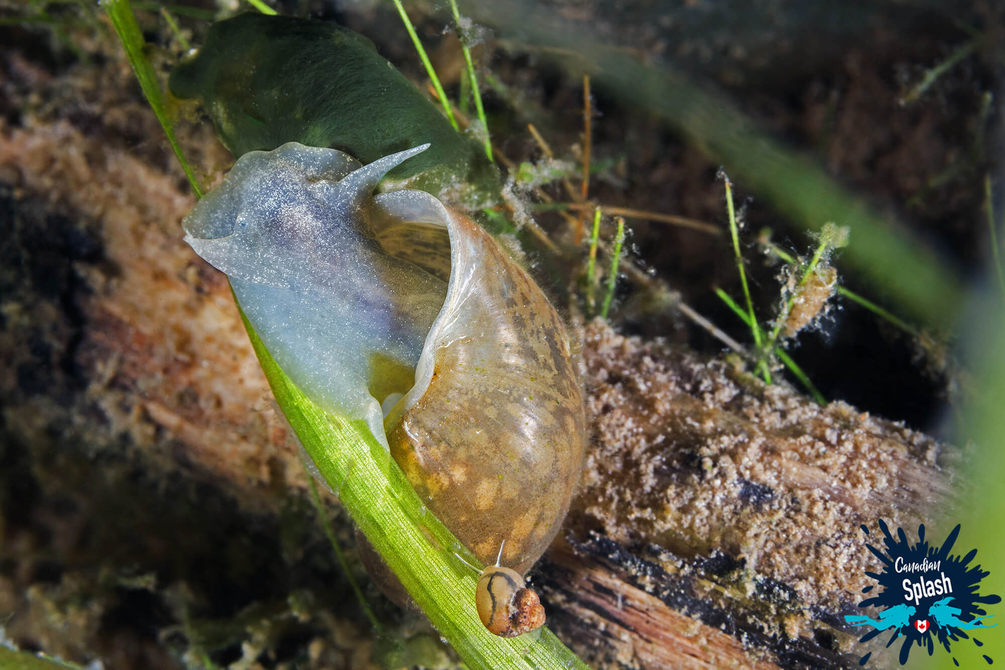 A Pair Of Aquatic Snails Feeding Underwater In Finlayson Point Provincial Park, Ontario Parks, Scuba Diving Canada