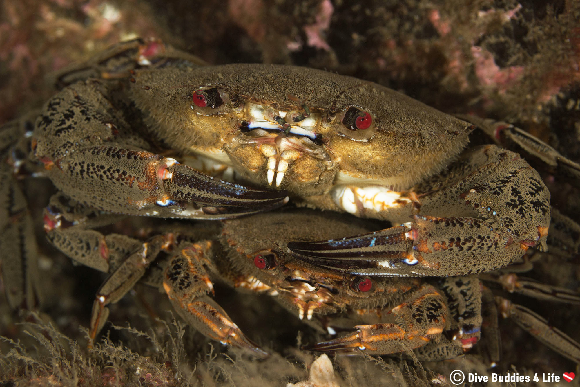 A Pair Of Red Eyed Crabs Mating On A Dive In St Abbs, Scotland Underwater
