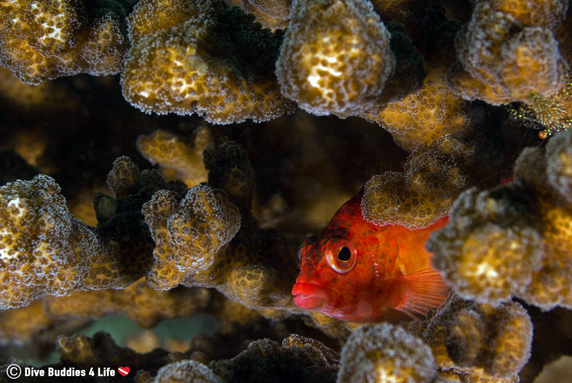 A Peeking Hawkfish Hiding Out In The Brown Coral Of Caleta Dive Site In Zihuatanejo, Mexico
