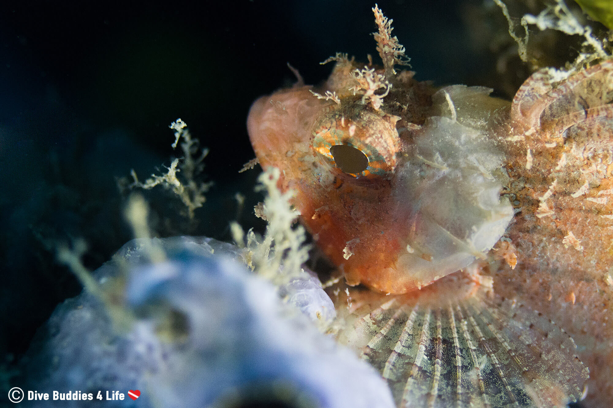 A Pink Scorpionfish In The Sponges Of Albania, Europe's Balkan Country