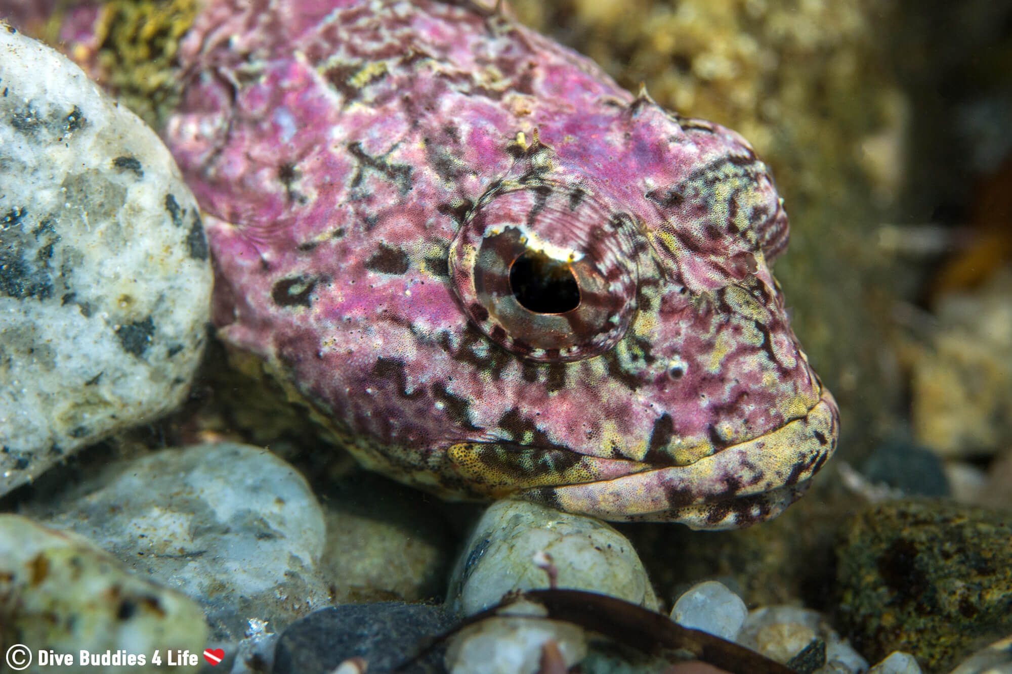 A Pink Sculpin Head On The Bottom Of The Dive Site In Halifax, Nova Scotia, Canada