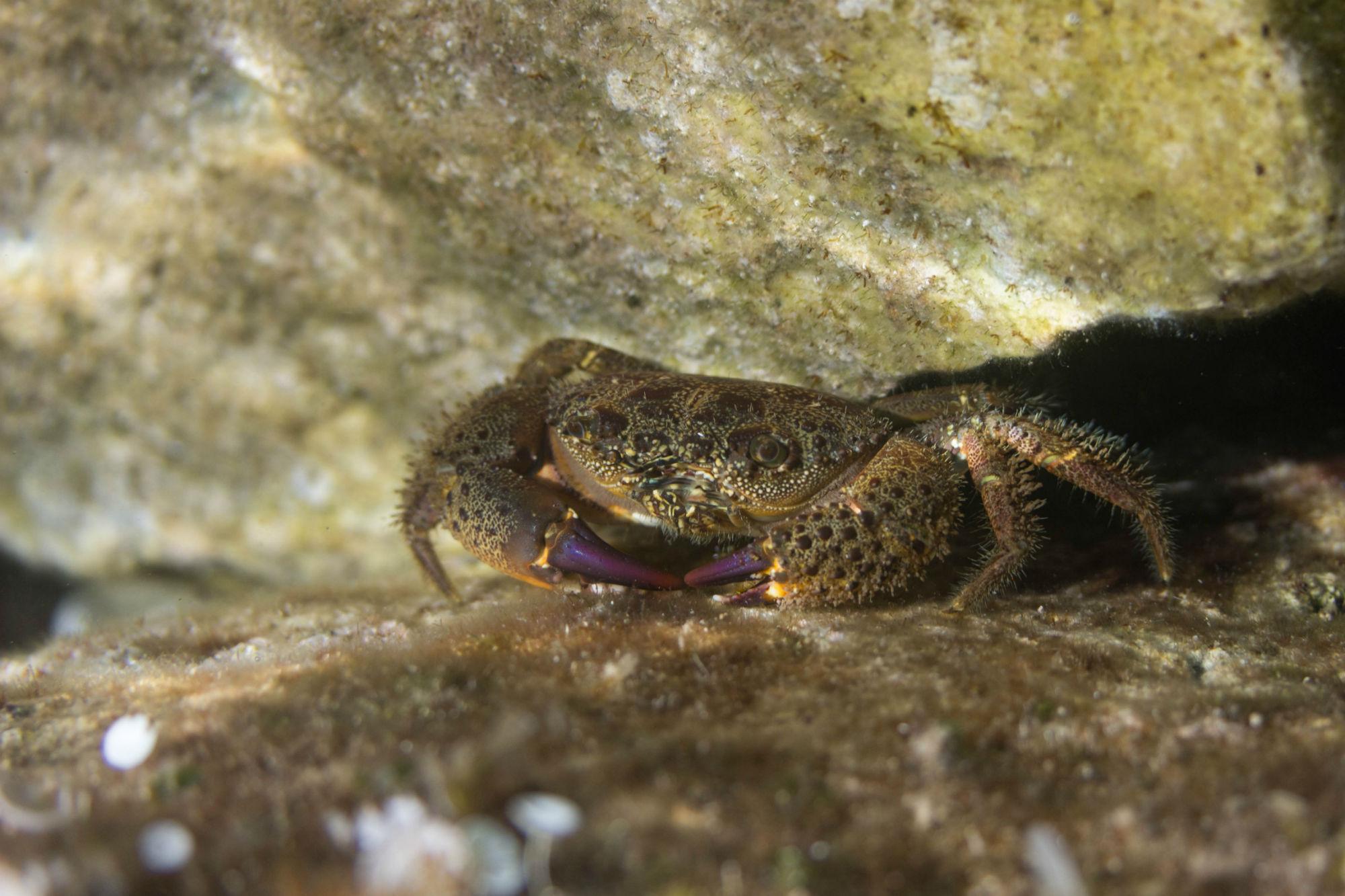 A Purple Clawed Crab In Dalmatia Croatia