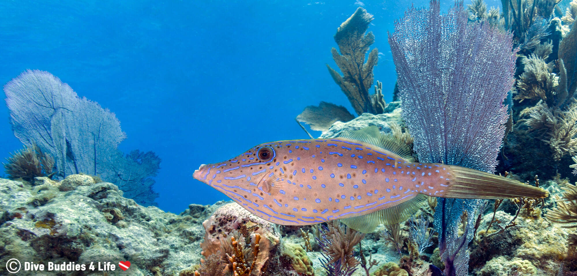 A Purple File Fish Swimming On A Key Largo Reef In The Florida Keys, USA