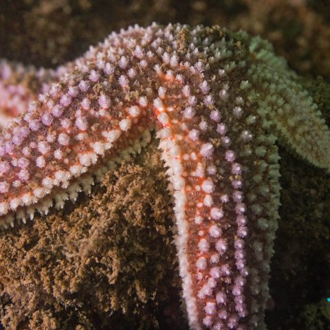 A Purple Sea Star Seen Shore Diving In The Bay Of Fundy, Saint John, New Brunswick