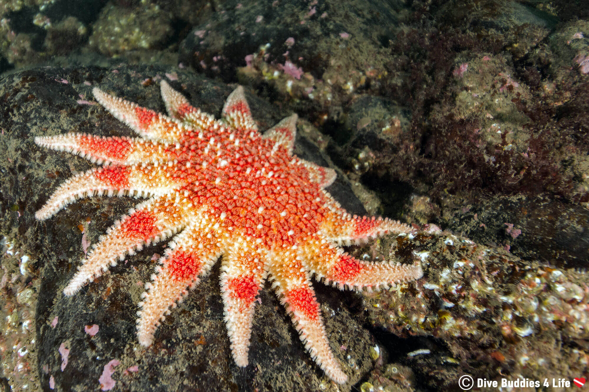 A Red Sun Star On The Rocky Bottom Of The Farne Islands, Scuba Diving England