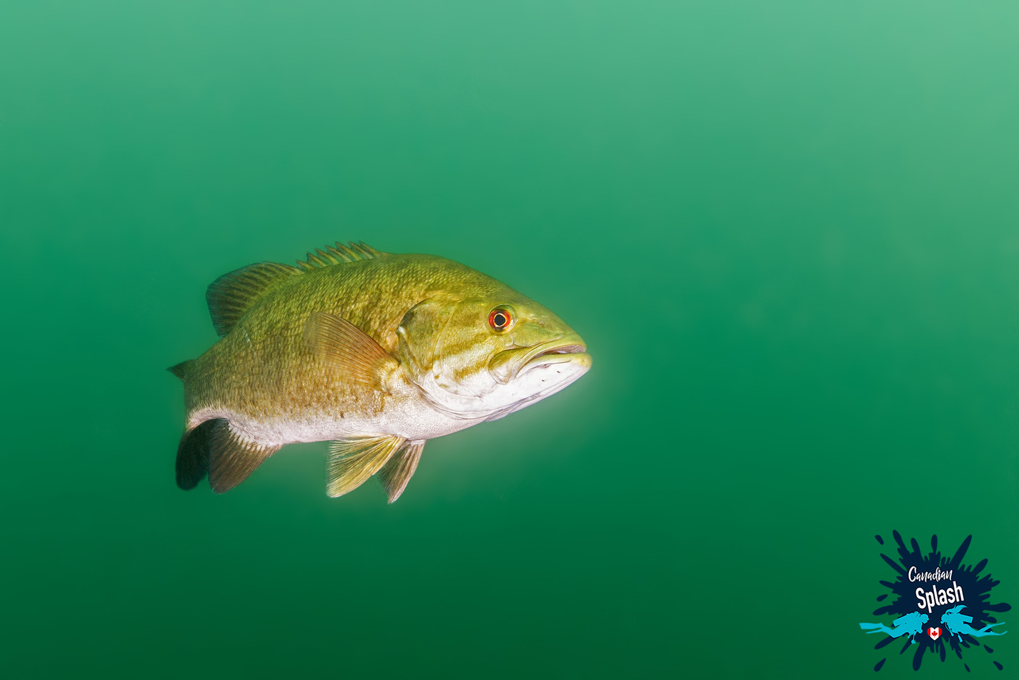 A Red Eyes Bass Fish In The Emerald Waters Of Turtle Lake, Temagami, Ontario Scuba Diving, Canada