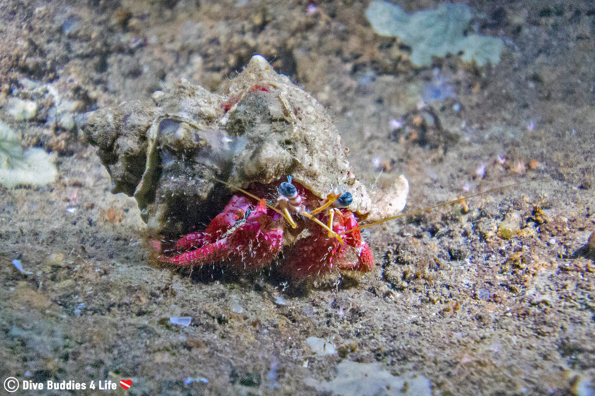 A Red Hermit Crab On The Bottom Of The Grotta Dell'Isca Mediterranean Sea Scuba Diving The Amalfi Coast, Italy, Europe