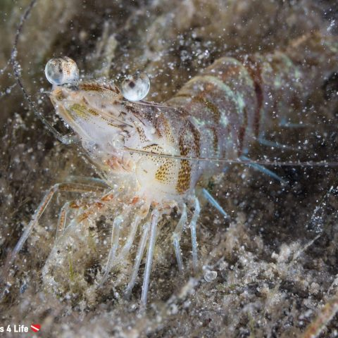 A Sand Shrimp Digging In The Mud At The Bridge In Florida, USA