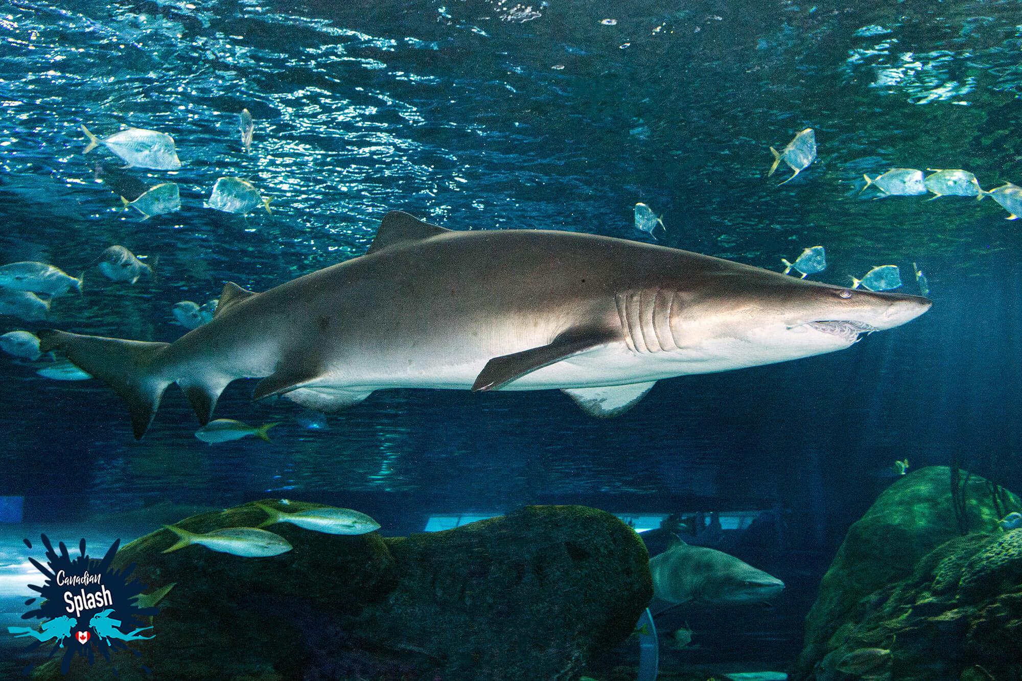 A Sand Tiger Shark Circling The Dangerous Lagoon Tank At Ripley's Aquarium, Ontario, Canadian Splash