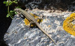 A Santorini Lizard