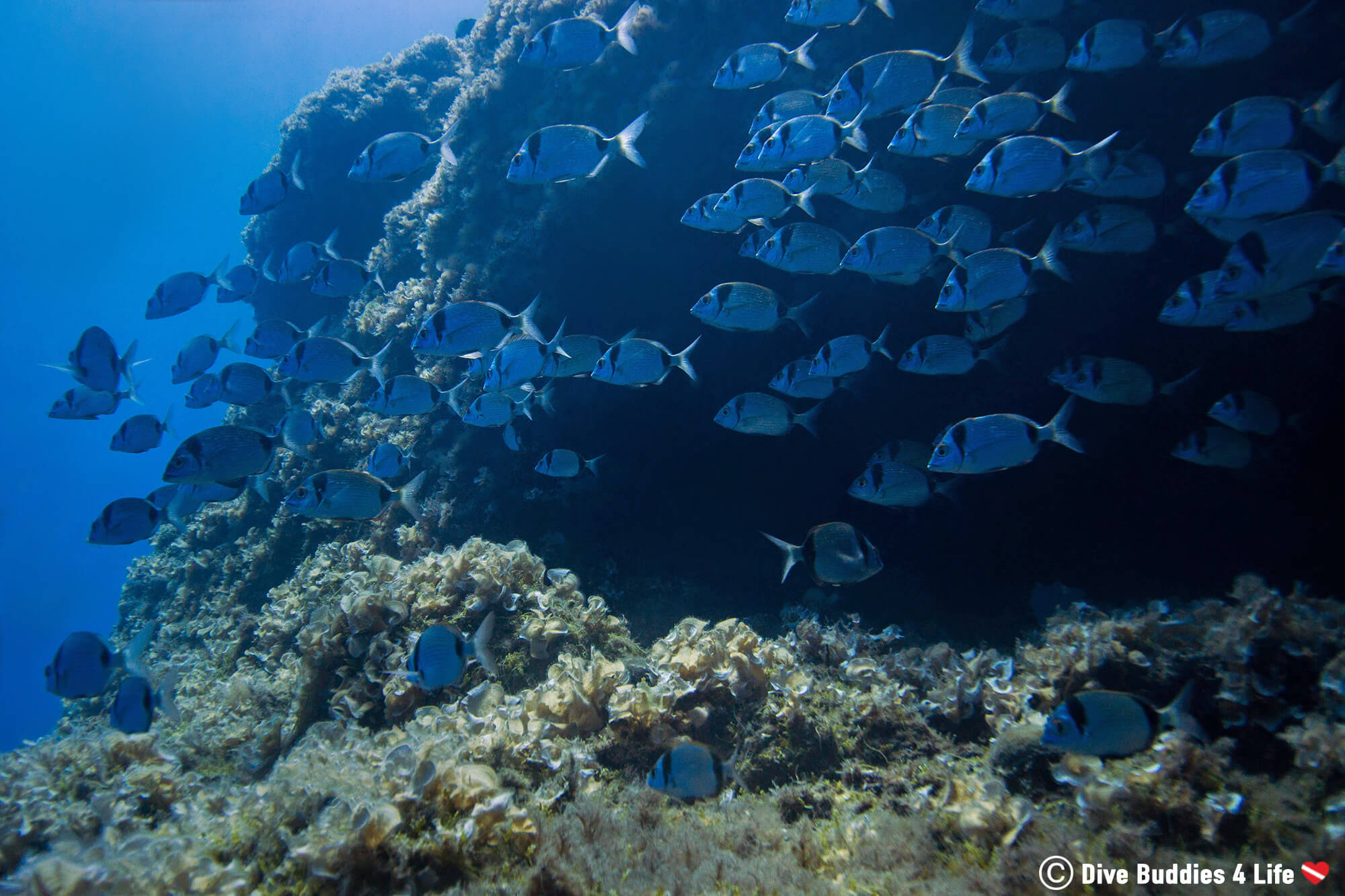 A School Of Sea Bream Fish Seen Scuba Diving Off The Amalfi Coast In Sorrento, Italy